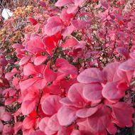 Berberis thunbergii  'Red Rocket' (Berberys Thunberga) - berberis_thunbergii__red_rocket_[1][1].jpg